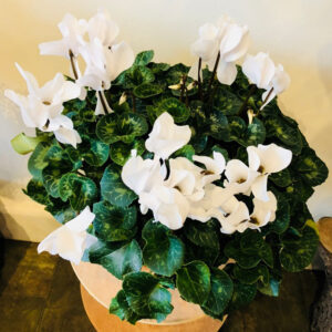 White Cyclamen Pot